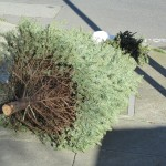 A discarded Christmas/Holiday Tree
