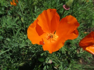 A California Poppy near the pink barrio